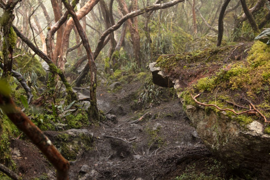 Moosebewachsene Papierbäume im Nebelwald