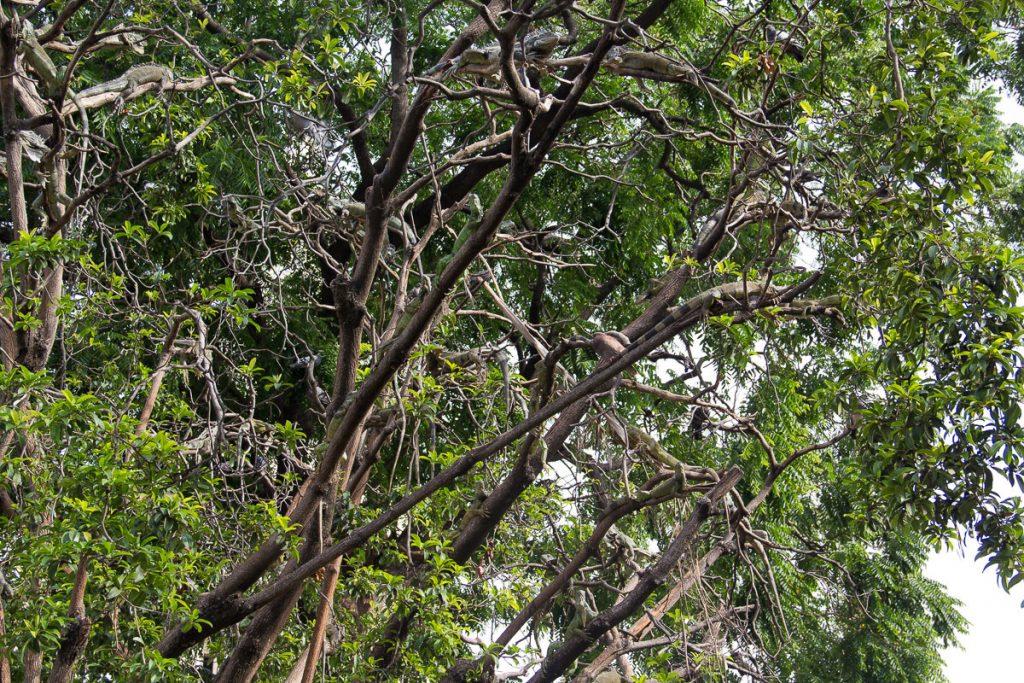 Wer findet alle Leguane im Baum?