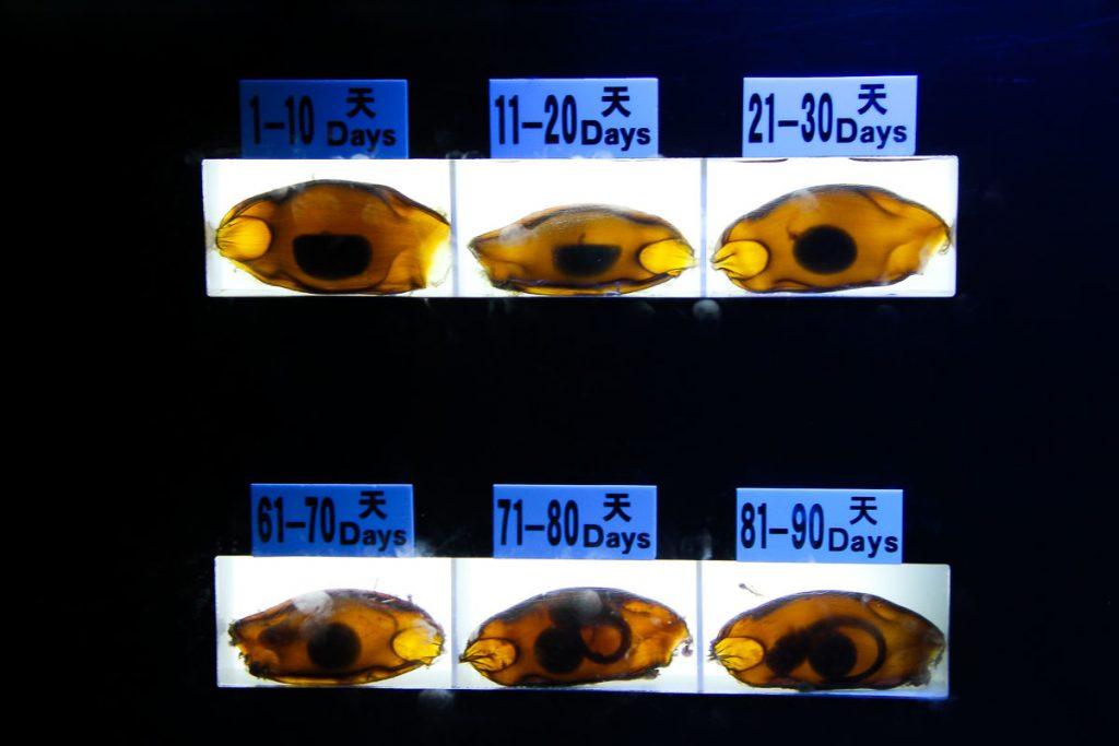 lebende Hai-Embryonen