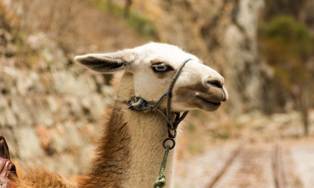 Lama in Ecuador