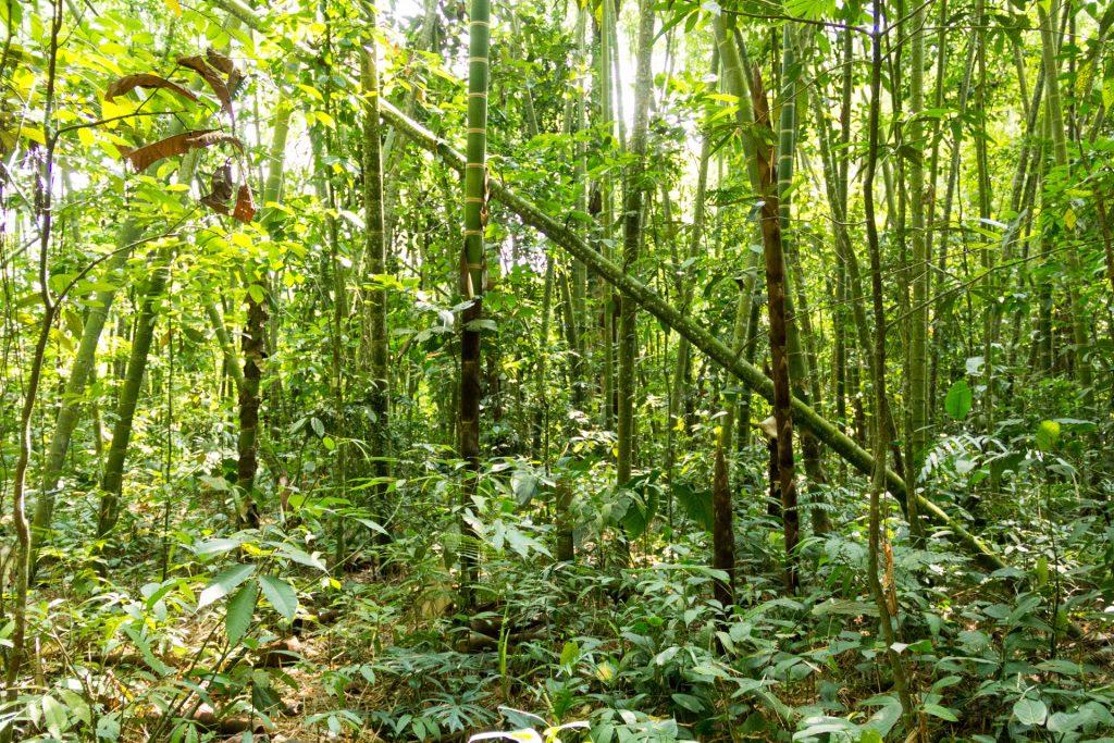 Gadua-Wald / Bambus