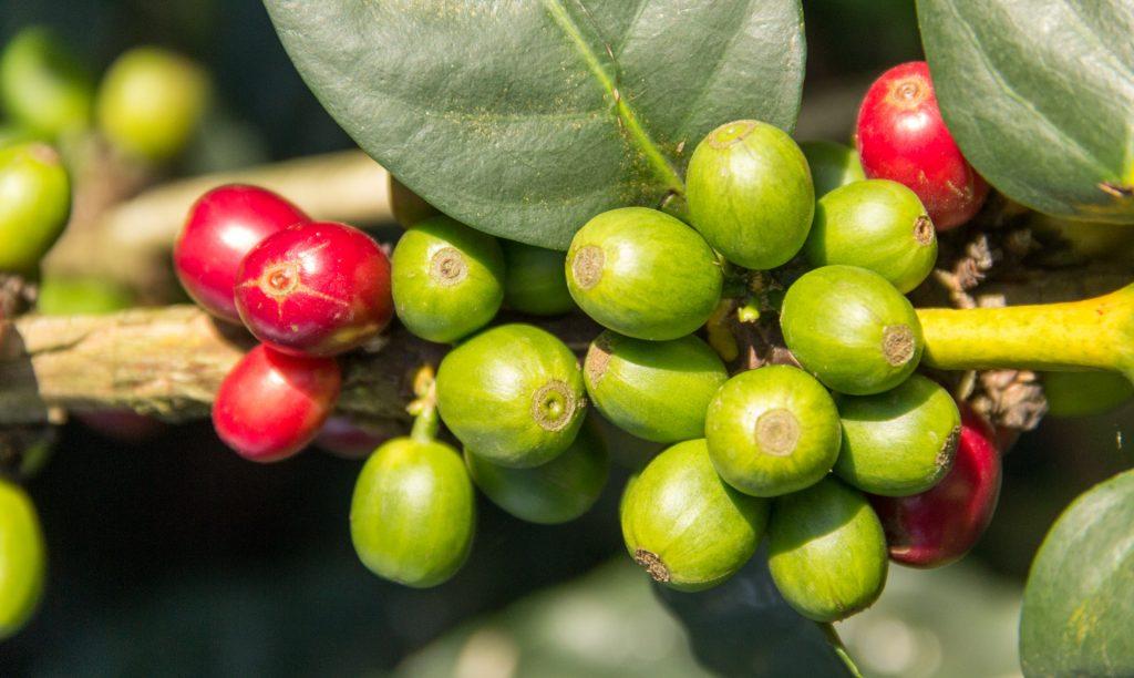 reife und unreife Kaffee-Kirschen am Strauch