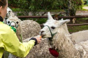 Möhrchen - der ideale Lama-Snack