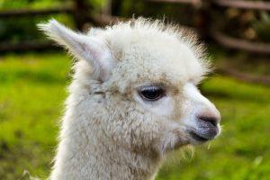 Baby-Lama - die Frisur sitzt
