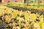 ganz junge Kakao-Pflanzen