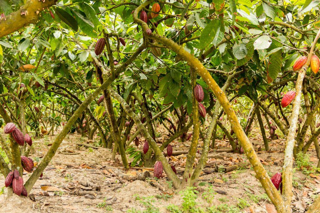 In der Kakao-Plantage