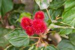 Die Samen ergeben eine starkfärbende rote Paste