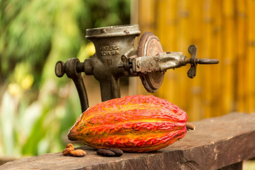 Kakao-Frucht, rohe und geröstete Bohnen in der Hacienda Cacao y Mango