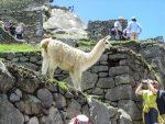 Lamas - die natürlichen Rasenmäher