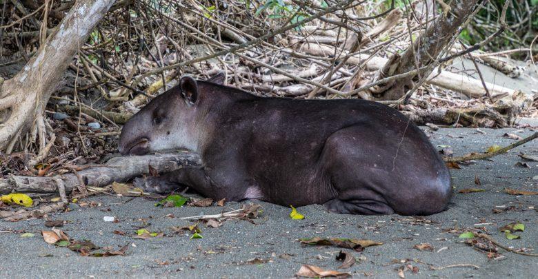 Schlafender Tapir am Strand vom Corcovado Nationalpark