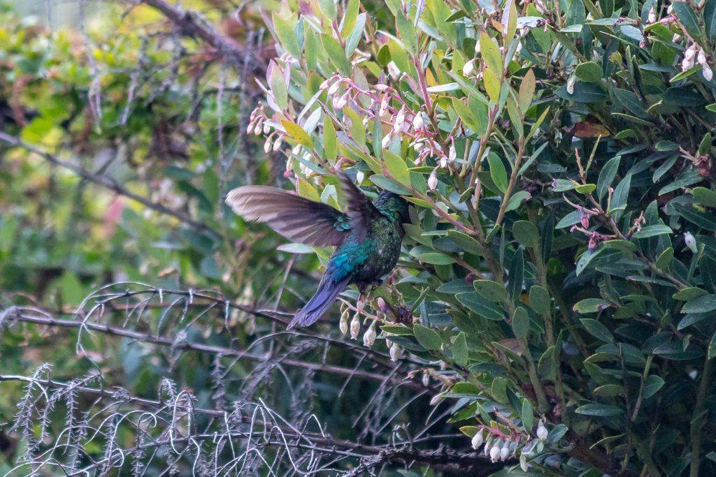 Kolibri am Vulkan Irazú