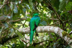Quetzal nach Abwurf der Schwanzfedern