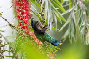 Colibri in Costa Rica