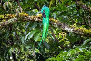 Quetzal mit den charakteristischen Schwanzfedern