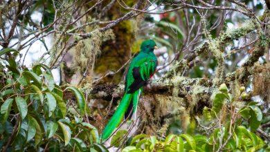 Junger, männlicher Quetzal