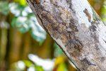 Große Sackflügel-Fledermaus