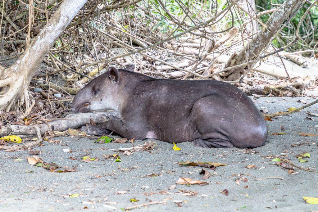 Tapir im Corcovado Nationalpark