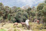 Herde Lamas in den Anden