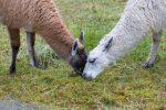Zwei Lamas bei Papallacta