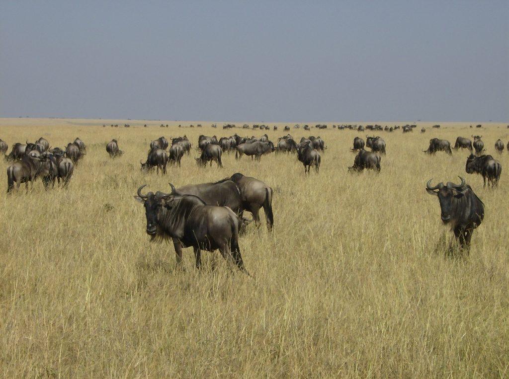 Die Gnu-Herden erstrecken sich bis zum Horizont