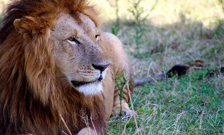 Löwe in der kenianischen Steppe