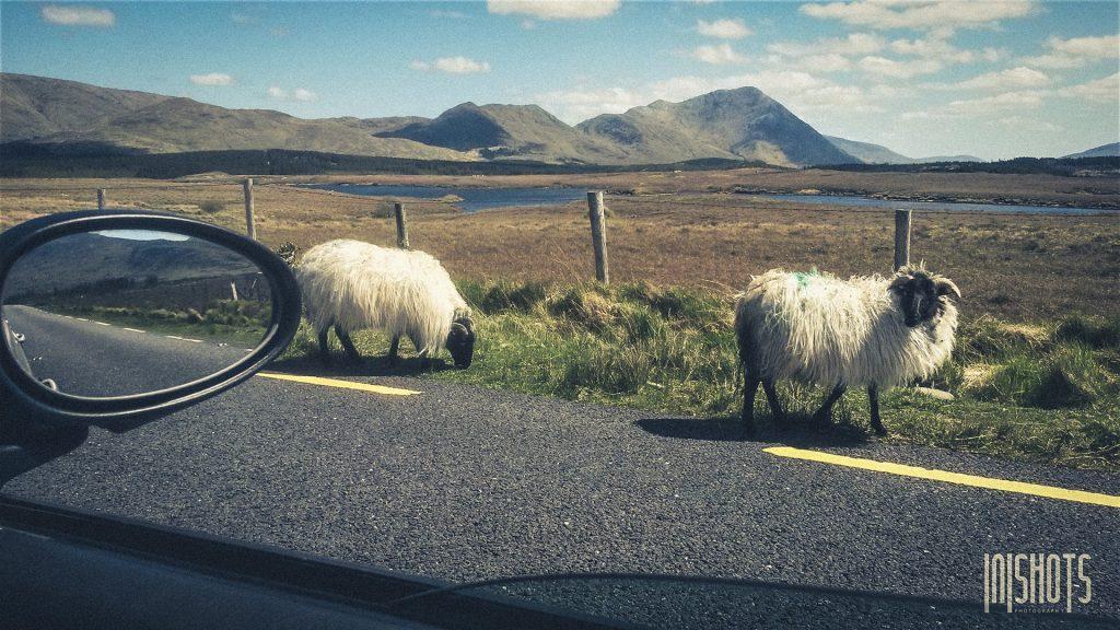 Schafe - in Irland allgegenwärtig