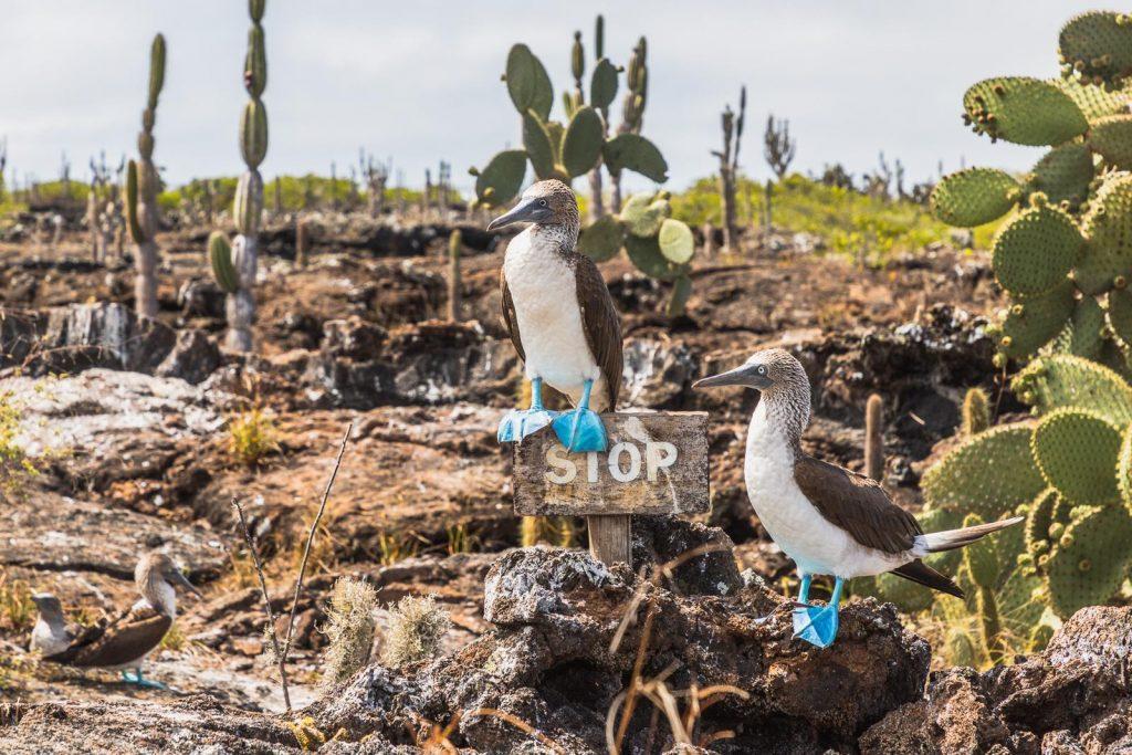 Blaufußtölpel auf Galápagos