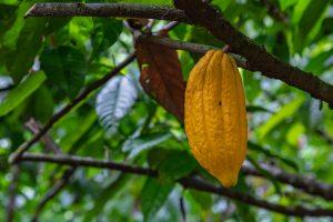 reife Kakaofrucht
