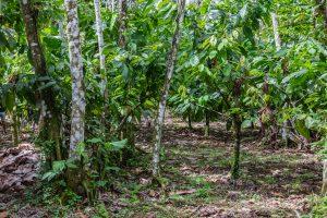 Kakaobäume