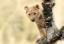 Kleiner Löwe in Tansania